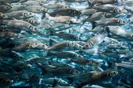 school fish: Underwater School of Silver Gray Fish in Aquarium