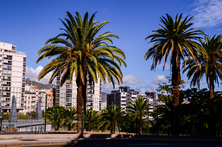 canarian: Canarian Palm Tree in a Tropical Town