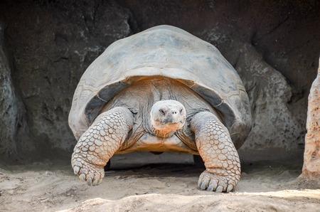 Giant Big Galapgos Earth Tortoise Turtle on the Floor photo