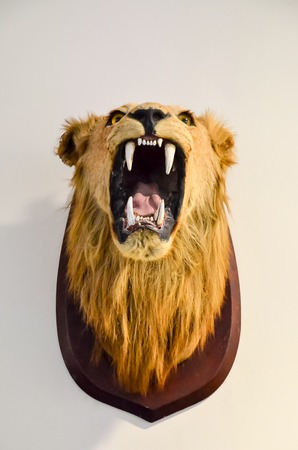 hunted: Lion Head as a Trophy on a white wall