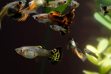 acquarium: Guppy Multi Colored Fish in a Tropical Acquarium