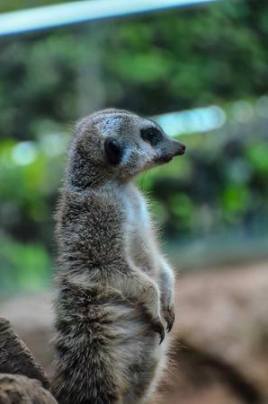 zoogdier: Kleine Bruine Carnivore Afrikaanse Zoogdier Animal Suricata Stockfoto