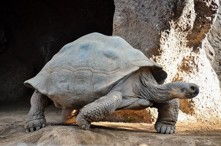 ancient turtles: Giant Big Galapgos Earth Tortoise Turtle on the Floor Stock Photo