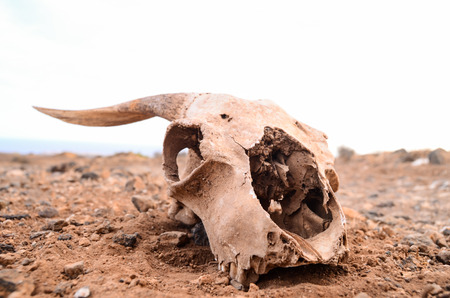 Dry Goat Skull on the Rock Desert Canary Islands Spain photo