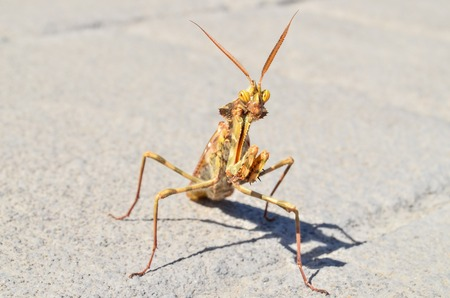 Brown Colored Adult Smart Insect Mantis Religiosa photo