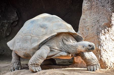 Giant Big Galapgos Earth Tortoise Turtle on the Floor 스톡 콘텐츠