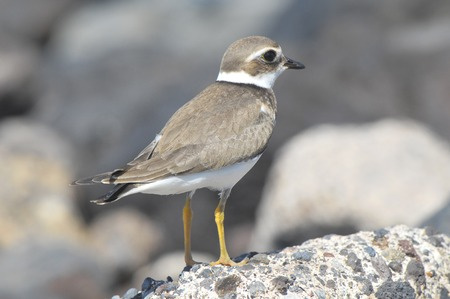 one adult: One Adult Kentish Plover Water Bird near a Rock Beach