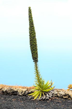 echium: Green Succulent Flower of a Cactus Plant Tajinaste Echium Stock Photo