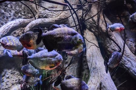 Some Orange Piranhas into the Hot Tropical Water photo
