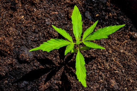 Cannabis Marijuana Green Young Plant over the Floor Archivio Fotografico