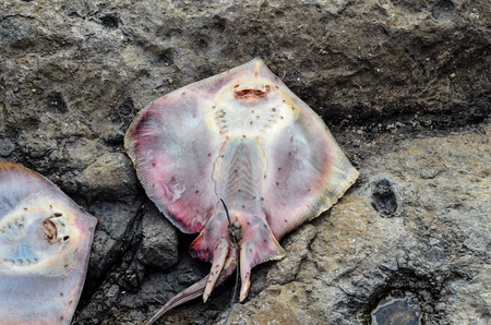 stingray: Dead Stingray Fish on the Coast near the Atlantic Ocean Stock Photo