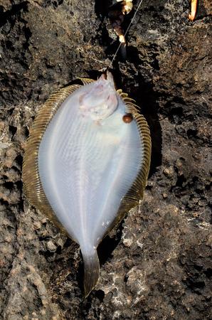stingray: Dead Stingray Fish on the Coast near the Atlantic Ocean Stock Photo