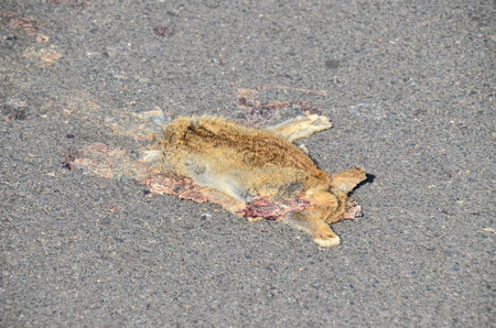 mammal: Dead Animal Mammal on the Asphalt Road