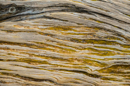 gnarled: Trunk Texture of Gnarled Juniper Tree Shaped By The Wind at El Sabinar, Island of El Hierro