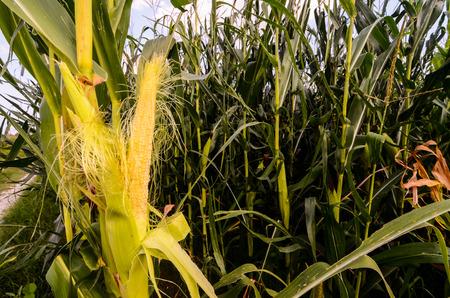 planta de maiz: Crecimiento de maíz verde Campo Cultura en el norte de Italia Foto de archivo