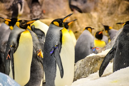 penguin colony: Black and White Colored Penguin in a Cold Place