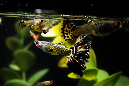 poecilia: Guppy Multi Colored Fish in a Tropical Acquarium