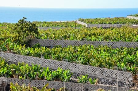 canary islands: Banana Plantation Field in Tenerife Canary Islands