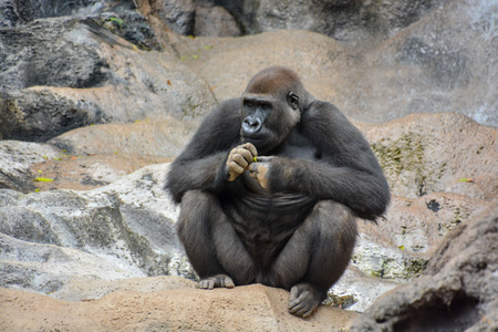 hairy back: Picture of a Strong Adult Black Gorilla