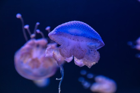 Small Jelly Fish Medusa Colored by the Light photo