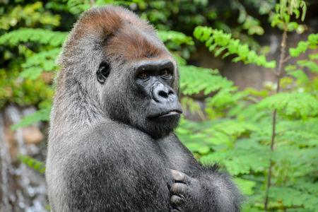 gorila: Imagen de un fuerte Adulto Negro Gorila Foto de archivo