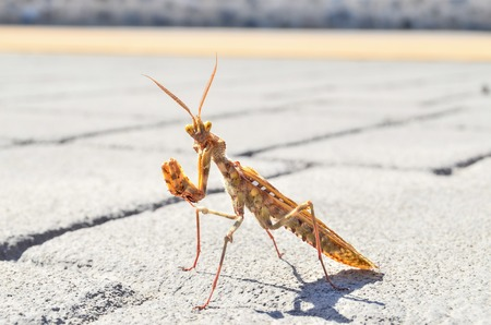 religiosa: Brown Colored Adult Smart Insect Mantis Religiosa