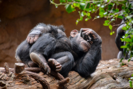Wild Black Chimpanzee Mammal Ape Monkey Animal photo