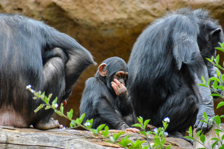 zoogdier: Wild Black Chimpansee Zoogdier Ape Monkey Animal