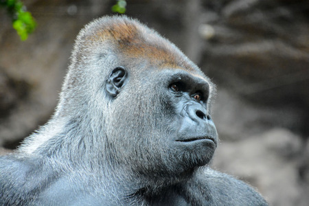 silverback: Picture of a Strong Adult Black Gorilla