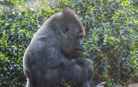 silverback: Strong Adult Black Gorilla on the Green Floor