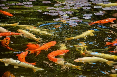many colored: Many Colored Koi Carps in a Dark Pond