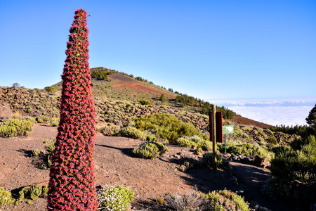 endemic: Specimens of Endemic Red Tenerife Bugloss in Teide National Park Canary Islands Spain