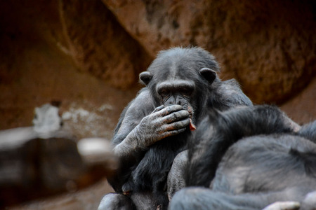 chimpanzee: Wild Black Chimpanzee Mammal Ape Monkey Animal Stock Photo
