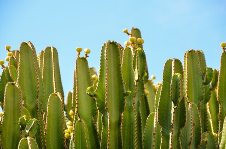 cholla cactus: Cactus in the Desert at Sunset Tenerife South Canary Islands Spain