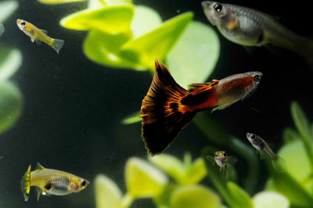guppy: Guppy Multi Colored Fish in a Tropical Acquarium