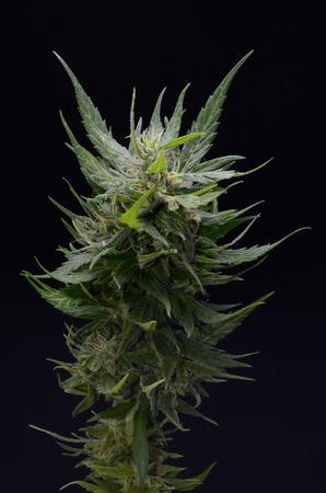 Bloeiende Cannabis Marijuana groene knoppen Rijp Bloemen Stockfoto