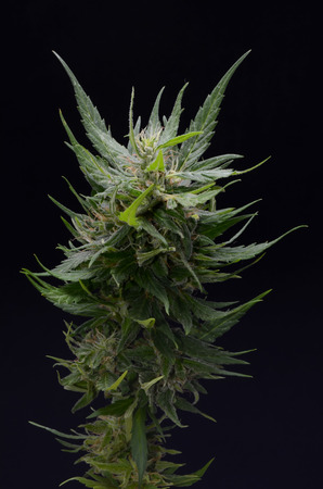 cannabis leaf: Blooming Cannabis Marijuana Green Buds Ripe Flowers