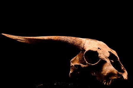 animal skull: Dry Goat Skull with Big Horns on Black Background Stock Photo
