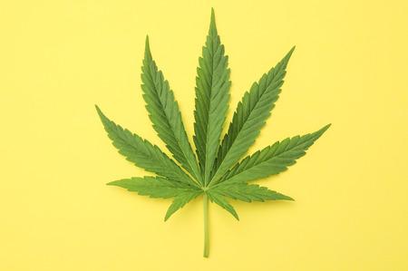 hoja marihuana: Verde fresca Hoja de Marihuana con Siete consejos Foto de archivo