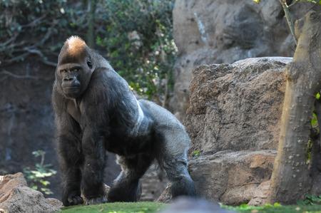 Starke Erwachsene Schwarz Gorilla zum Grünboden Standard-Bild - 46647254