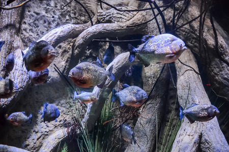 freshwater aquarium plants: Some Orange Piranhas into the Hot Tropical Water Stock Photo