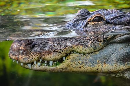 alligator: Big Brown and Yellow Amphibian Prehistoric Crocodile Stock Photo