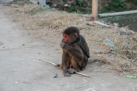 cage gorilla: Young Brown Monkey in Chains in Vietnam
