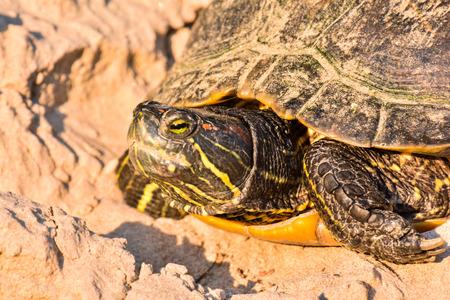 terrapin: Photo Picture of Red Eared Terrapin Trachemys Scripta Elegans Tortoise