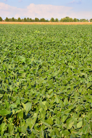 planta de frijol: Photo Picture of a Soy Bean Plant Field