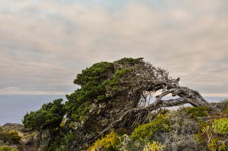 gnarled: Gnarled Juniper Tree Shaped By The Wind at El Sabinar, Island of El Hierro Foto de archivo