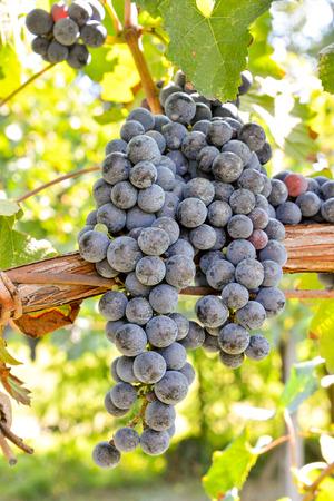 wine grape: Photo Picture of a Beautiful Grape Fruit Vineyard Ready to Produce Wine