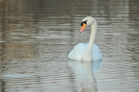 angel alone: Noble White Swan in the Water Surface Stock Photo