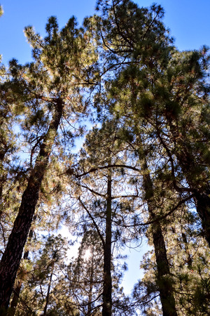 spanish looking: Picture Photo of Green High Pine Tree View