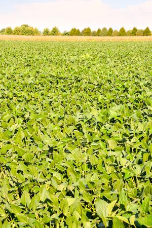planta de frijol: Foto Imagen de un Campo de la planta de Soja